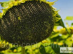 Семена подсолнуха Фантазия (Экстра фракция)