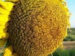 Семена подсолнуха НС Х 1752 Экстра (3,0-3,6мм) - фото 1