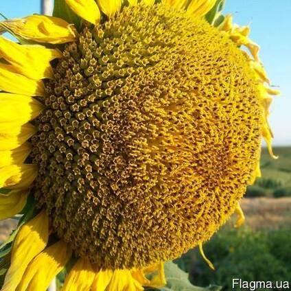 Семена подсолнуха НС Х 1752 Экстра (3,0-3,6мм)
