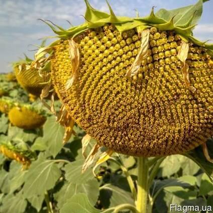 Семена подсолнуха НС Х 195 Стандарт (2,6-3,0мм)