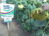 Семена подсолнуха НС Х 2652 Экстра (3,0-3,6мм) - фото 4