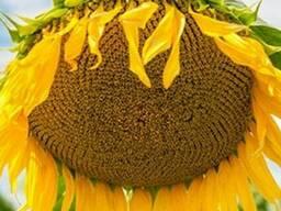 Семена подсолнуха НС Имисан Стандарт (2,6-3,0мм)
