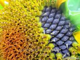 Семена подсолнуха под евролайтин Донат-залог высокого урожая