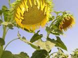 Семена подсолнуха под гранстар и евролайтинг по выгодным цен