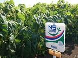 Семена подсолнуха Рими Экстра (3,0-3,6мм) - фото 3