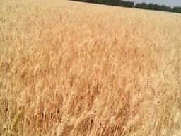 Насіння пшениці озимої та насіння ячменю озимого