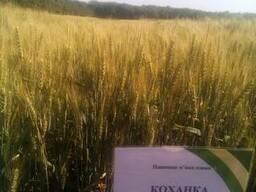 Семена пшеницы озимой Коханка
