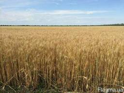 Семена пшеницы озимой Шестопаловка 1 репродукция/элита