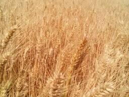Продам насіння озимої пшениці - Житниця одеська