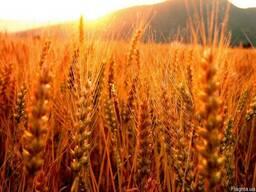 Семена пшеницы Таня