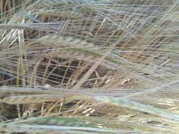 Семена ярового ячменя Аграрий, Вакула, Адапт - эл, 1реп. (Украина)