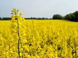 Семена рапса озимого Черный Велетень Украина Ріпак озимий
