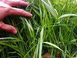 Семена райграса газонного, многолетнего сорт Андриана - фото 1