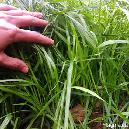 Семена райграса газонного, многолетнего сорт Андриана