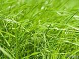 Семена райграса газонного, многолетнего сорт Андриана - фото 2