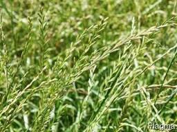 Семена райграса пастбищного, сорт Святошинский и Обрий
