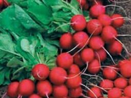 Семена редиса Сора, Сакса, Илка, Кармен 100грн. /кг.