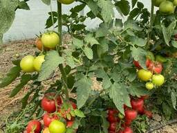 Семена розового томата Burpink/Бурпинк F1 Bursa Tohum 500