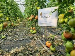 Семена розовый томат Балроза F1 (Balroza F1) Супер ранний, Mrtohum Турция