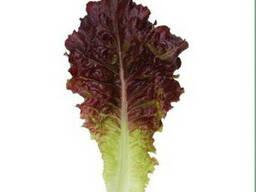 Семена салата KS 160 (Китано)