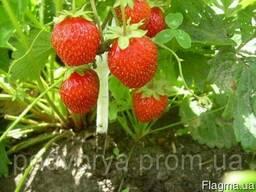 Семена, саженцы и рассада плодово-ягодный культкр