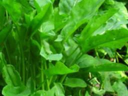 Семена Щавеля,Салата весовые и пакетированные