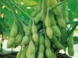 Семена сои Гримо под раундап, 95-100 дней. 1 репродукция.
