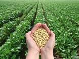 Семена сои трансгенный сорт Kansas ГМО - фото 6