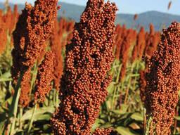 Семена сорго зернового Адванта Сидз (белое, красное)