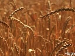 Семена Спельта Зоря Украины (озимая, безостая) ВНИС