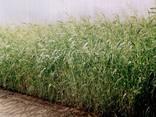 Семена суданки от 1 тонны - фото 1