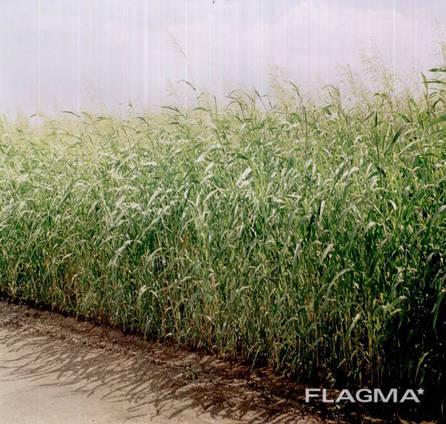 Семена суданки от 1 тонны