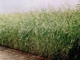Семена суданки 20 тонн не дорого