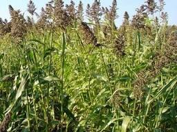 Семена суданки сорт Белявка