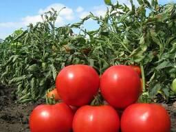 Семена томата KS 829 F1 (Китано)