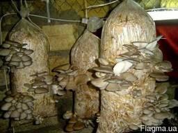 Семена вешенок - мицелий грибов вешанка от производителя