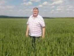 Семена высокоурожайной пшеницы, сорт Сталева