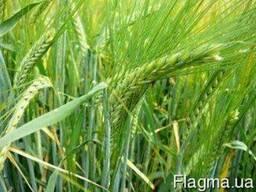 Семена Ячмень озимый Достойный (двуручка)
