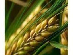 Семена ярого ячменя Адапт, Сталкер, Командор, Вакула