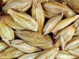 Семена ярого ячменя (Супер Элита!!)