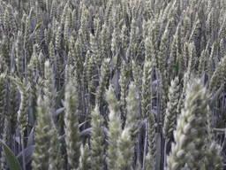 Семена яровой пшеници Широкко, Аквилон - 1реп. (КВС)