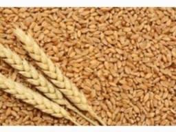 Канадская пшеница Тесла