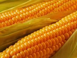 Семене кукурузы