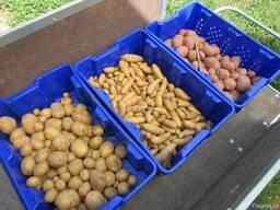 Семенной картофель элитных сортов. Отправляем почтой от 10кг