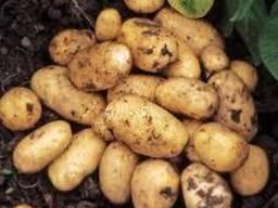 Семенной картофель Гранада. Solana