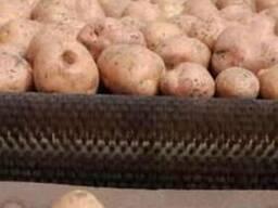 Семенной Картофель оптом от производителя