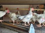 Серебристые мясояичные петушки 60 дней 0,7-1кг. - фото 1
