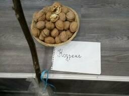 Сеянцы грецкого ореха - фото 2