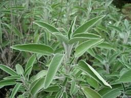 Шалфей лекарственный,трава.Шавлія лікарська,трава.