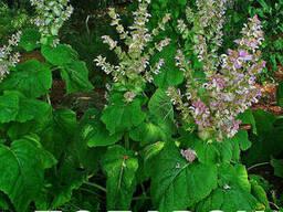 Шалфей мускатный семена 20 шт шавлія сальвия насіння. ..